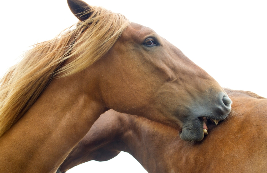 Suffolk Punch Trust horses. - Photography by Tim Winter